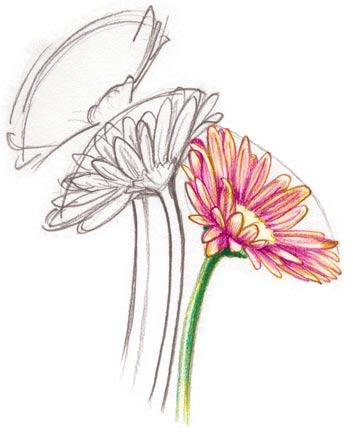 Drawing Gerbera Kristen Doty